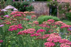 Red achillea flowers, photographed in mid summer at in the historic walled garden at Eastcote House Gardens, London UK