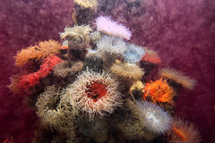 Red actinia or sea anemone Royalty Free Stock Photography