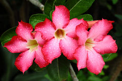Red adenium  flowers Stock Image