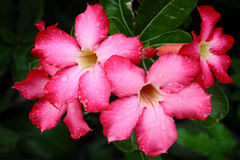 Red adenium flowers Royalty Free Stock Images