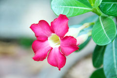 Red adenium obesum, desert flower. Stock Images