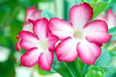 Red adenium obesum, desert flowers. Royalty Free Stock Photography
