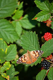 Red admiral 01. A red admiral butterfly rests on a leaf by some berries stock photography