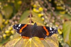 Red Admiral. (Vanessa atalanta) butterfly Royalty Free Stock Image