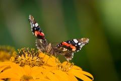 Red Admiral. (Vanessa atalanta) butterfly Royalty Free Stock Photography
