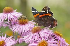 The red admiral Royalty Free Stock Photos