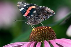 Red Admiral Stock Photography