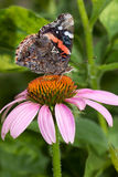 Red admiral atop a purple cone flower Stock Photos
