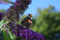 Red admiral. Beautiful Vanessa atalanta or red admiral butterfly in my summer garden Royalty Free Stock Photography