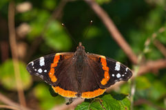 Red admiral on brambles in the sun Stock Images