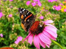 Red Admiral and Bumblebee Royalty Free Stock Image