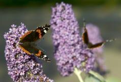 Red admiral butterflies Stock Photos