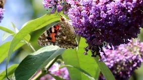 Red Admiral butterflies upon pink Buddleja flower stock video