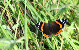 Red Admiral Butterfly. Royalty Free Stock Image