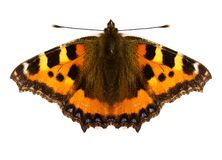 Red Admiral Butterfly royalty free illustration
