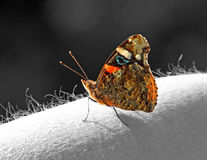Red admiral butterfly on arm Stock Images