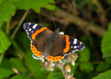 Red Admiral butterfly (Atlanta vanessa) Royalty Free Stock Photos