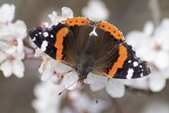 A red admiral butterfly on blossom stock image