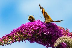 Red Admiral butterfly and Bumblebee on butterfly bush stock photos