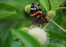 Red Admiral butterfly on Button Bush Royalty Free Stock Photo