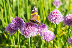 Red admiral butterfly on chive blossom, side, macro Stock Photos