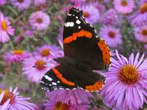 Red Admiral butterfly. On chrysanthemum Royalty Free Stock Photos