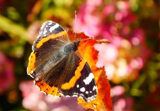 Red admiral butterfly. Close up of a red admiral butterfly on a leaf Royalty Free Stock Image