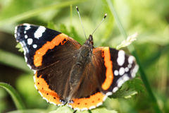 The Red Admiral butterfly Stock Images