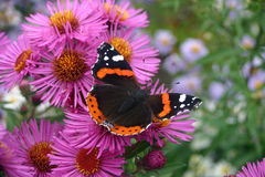 Red admiral butterfly on pink aster flowers. Red admiral butterfly, Vanessa atalanta, sitting with wings open feeding on a pink aster flower Stock Photography