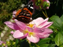 Vanessa Atalanta on Rosy Lily. Red Admiral butterfly drink nectar from rosy Lily in summer day Royalty Free Stock Photo