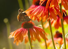 Red Admiral butterfly on Echinacea blossom Royalty Free Stock Image