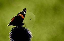 Red admiral butterfly on echinops flower against green blurred background. Nature background showing red admiral butterfly on top of echinops flower head stock photography