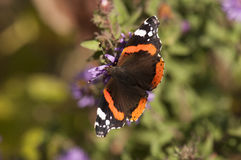 Red Admiral Butterfly. Red-Admiral Butterfly feasting with pollen (Vanessa atalanta royalty free stock photo