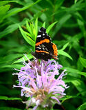 Red Admiral Butterfly Royalty Free Stock Photo