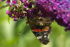 Red admiral butterfly on Royalty Free Stock Image