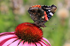 Red Admiral Butterfly Feeding on Coneflower Stock Photo