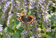 Red admiral butterfly on flowers Humber Bay Butterfly Habitat Royalty Free Stock Image