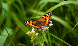 Red Admiral butterfly on grass Stock Images