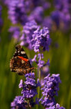 Red Admiral butterfly on lavender close up. Red Admiral butterfly getting nectar from a beautiful lavender flower Royalty Free Stock Photography