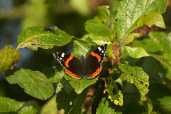 Red Admiral Royalty Free Stock Image