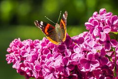 Red admiral butterfly on lilacs. Red admiral, vanessa atalanta, butterfly gathering nectar on lilacs Stock Images