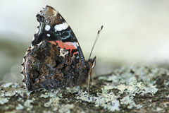 Red admiral butterfly Royalty Free Stock Image