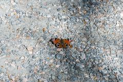 Red admiral butterfly on a meadow stock image