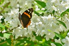 Red Admiral butterfly on mock orange High Park Royalty Free Stock Photo