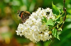 Red Admiral butterfly on mock orange High Park Stock Images