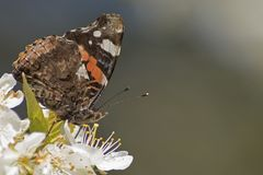 A red admiral butterfly in early spring royalty free stock image