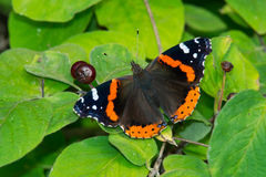 Red Admiral Butterfly. Perched on a leaf Stock Photos