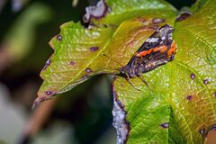 A red admiral butterfly perched on a pant leaf