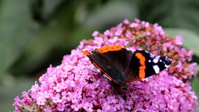 Red Admiral butterfly upon pink Buddleja flower stock video