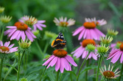 Red Admiral Butterfly on pink echinacea flower. Royalty Free Stock Photography